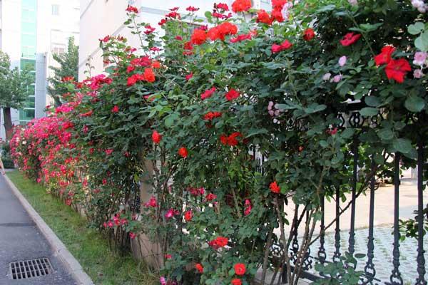 北京的月季花