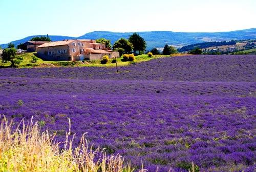 鲁伯隆山区及施米亚那山区是普罗旺斯两大著名薰衣草观赏地