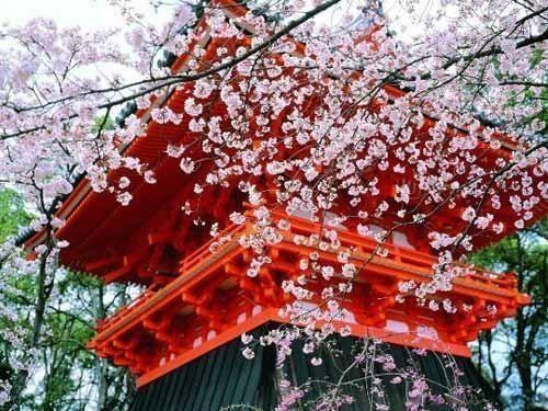别致的浪漫 二月早春伊豆半岛看樱花