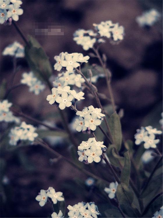 野姜花---林清玄