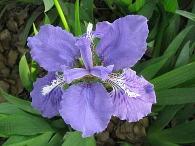 蝴蝶花 Iris japonica