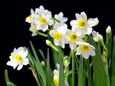 水仙花 Daffodi