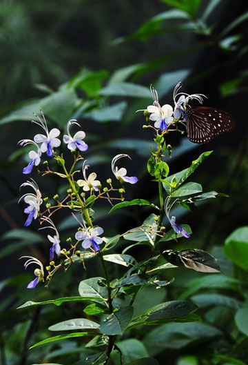 花卉图片大全:蓝蝴蝶 Clerodendrum ugandense