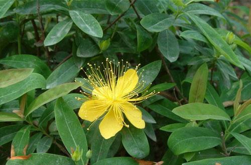 金丝桃 Hypericum monogynum