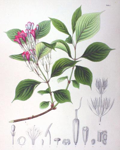 花卉图片大全:海仙花 Weigela coraeensis
