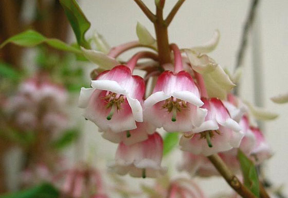 花卉图片大全:吊钟花 Enkianthus quinqueflorus