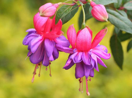 花卉介绍:倒挂金钟 Fuchsia hybrida