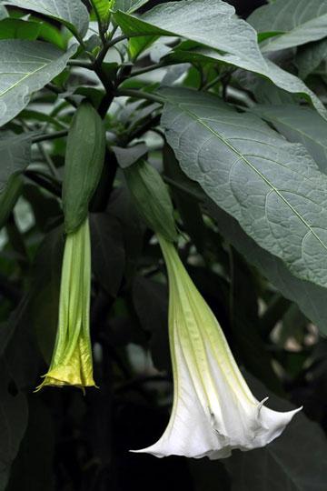 花卉图片大全:木本曼陀罗 Brugmansia arborea