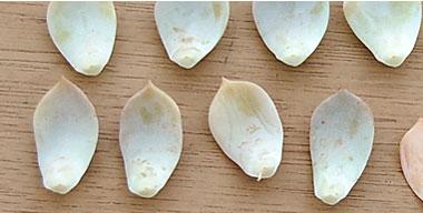 多肉植物繁殖方法图解:叶插繁殖