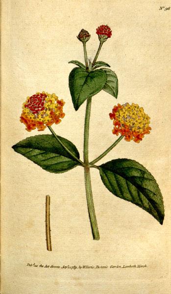 花卉图片大全:五色梅 Lantana camara