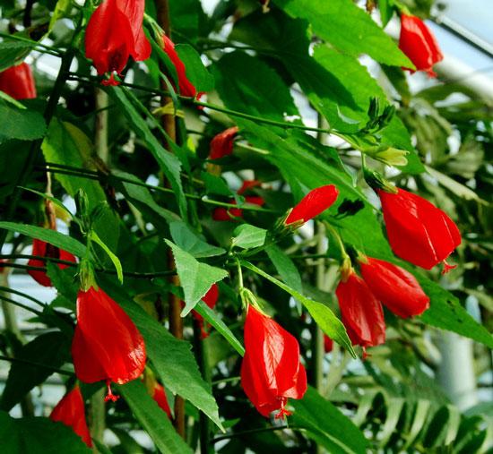 花卉图片大全:悬铃花 Malvaviscus arboreus var.penduliflorus