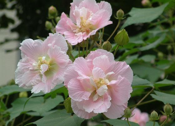 花卉图片大全:木芙蓉 Hibiscus mutabilis