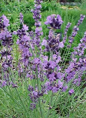 花卉图片大全:薰衣草 Lavandula angustifolia