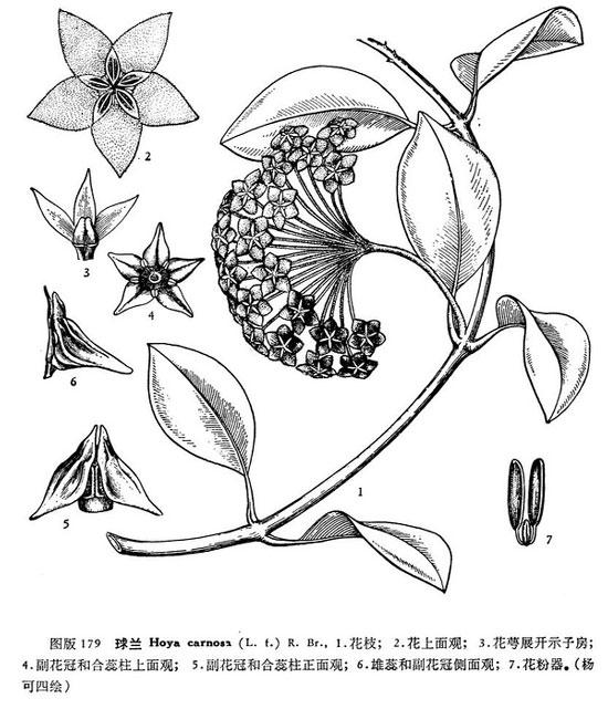 花卉图片大全:球兰 Hoya carnosa