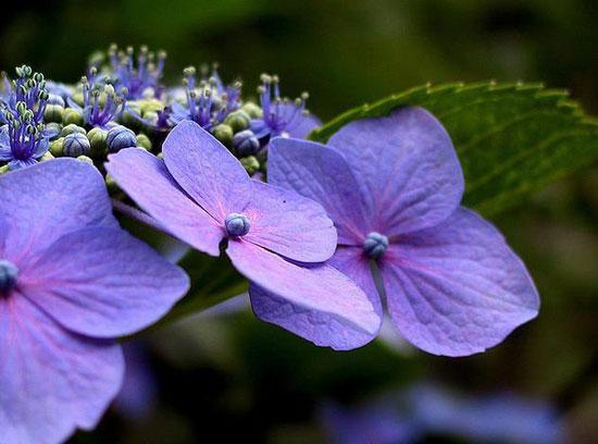 花卉图片大全:八仙花 Hydrangea macrophylla