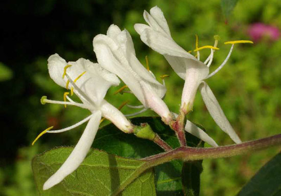 花卉图片大全:金银木 Lonicera maackii