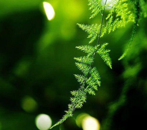 文竹的养殖知识与养护秘诀