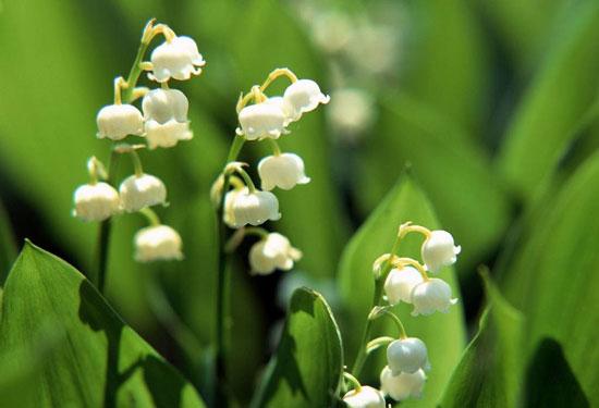 瑞典的国花:铃兰