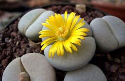 花卉图片大全:生石花图片