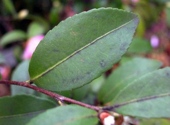 花卉图片大全:茶梅 Camellia sasanqua 图片