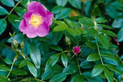 月季、玫瑰与蔷薇的区别