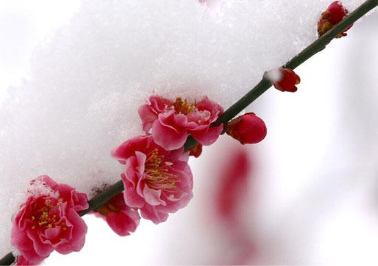 中国的国花是_国之瑰宝:梅花_那花园花卉网(nahuayuan.com):花卉第一网站!爱花人 ...