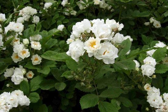罗马尼亚的国花:白蔷薇