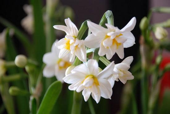 中华民俗植物考:水仙花(Chinese Narsissus)