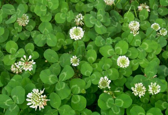 爱尔兰的国花:白车轴草