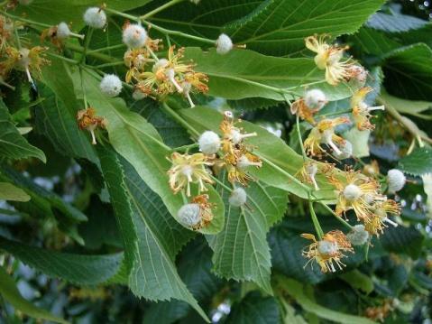 捷克斯洛伐克国花:椴树
