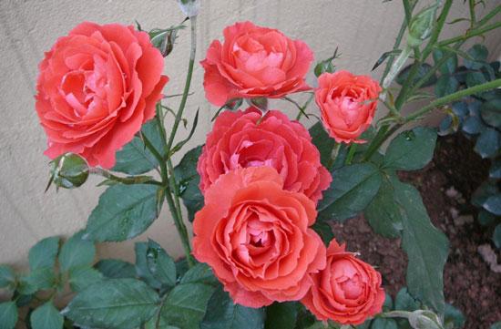 卢森堡国花:月季