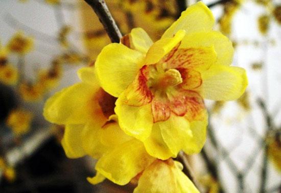 花卉图片大全:蜡梅 Chimonanthus praecox
