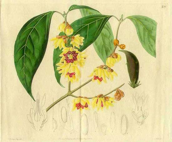 花卉图片大全:蜡梅 Chimonanthus praecox 图谱