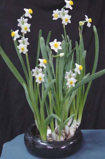 水培水仙花的养殖方法和花期控制
