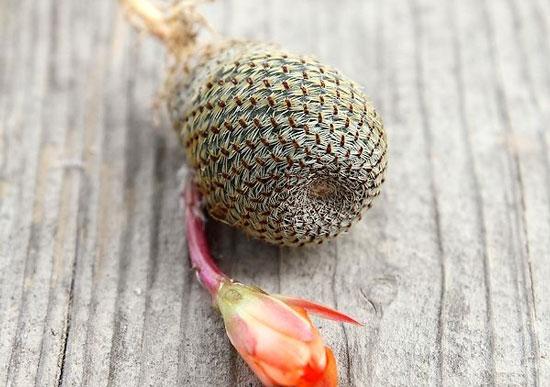 多肉植物种类及图鉴:仙人掌科(部分)