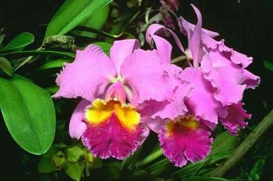哥斯达黎加国花:卡特兰
