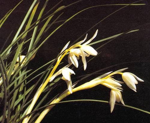 兰花品种鉴赏及花卉图片大全 2