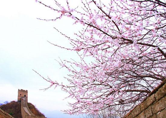 春意金山岭长城 美得令人心醉的花之海洋
