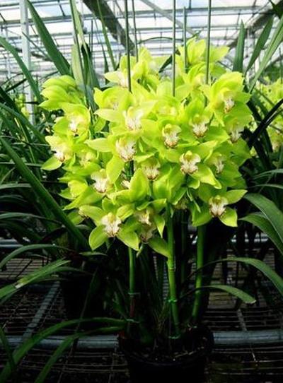 洋兰品种介绍及花卉图片大全