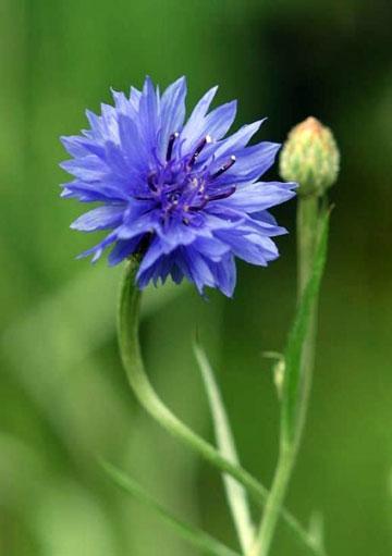 马耳他的国花:矢车菊