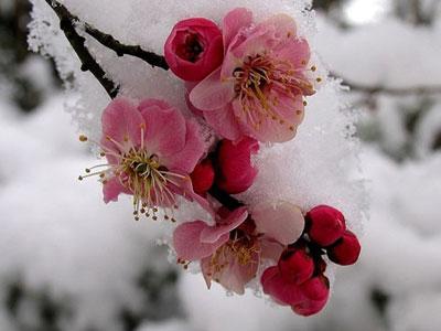 植物介绍:梅花 Prunus mume