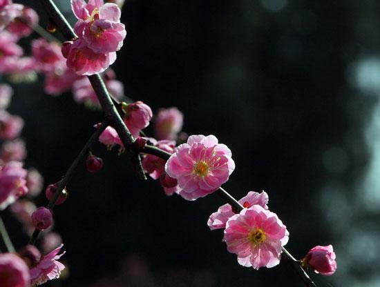 粉花垂枝梅型