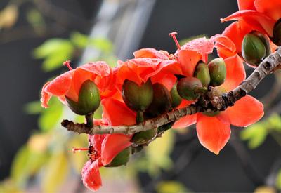 危地马拉的国花:爪哇木棉