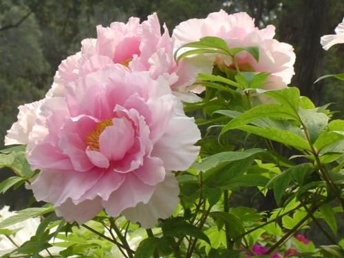 雍容华贵 不同花色的牡丹花卉图片大全