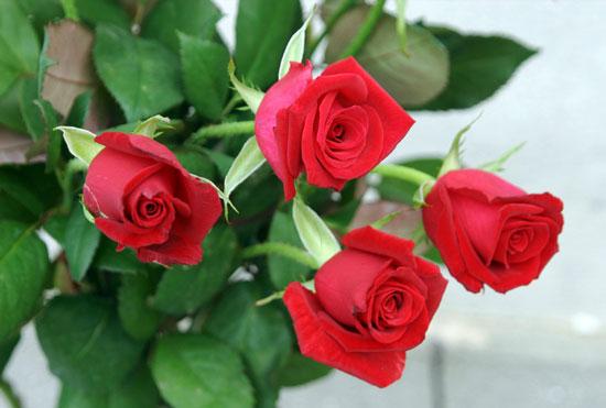 不同朵数玫瑰花语与玫瑰的赠送礼仪