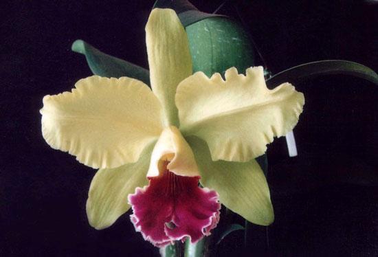 哥伦比亚的国花:三向卡特兰