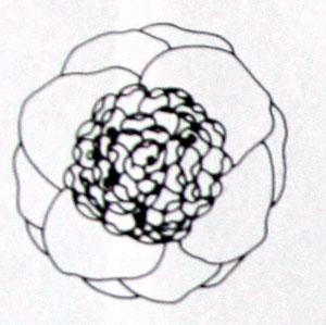 山茶花的主要花型图解