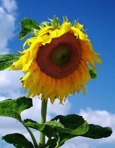 玻利维亚的国花:向日葵