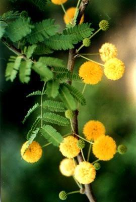 澳大利亚的国花:金合欢