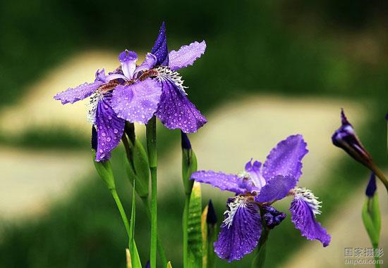 世界各国鸢尾花的花语和象征意义